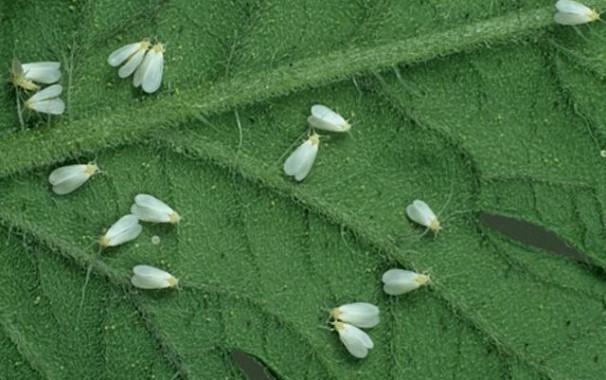 белокрылка на цветах