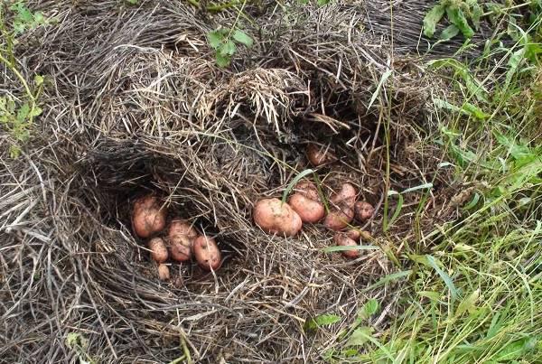 Картофель под сеном собирается без потерь