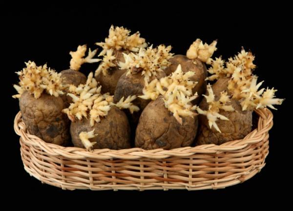 Подготовка картофеля к проращиванию