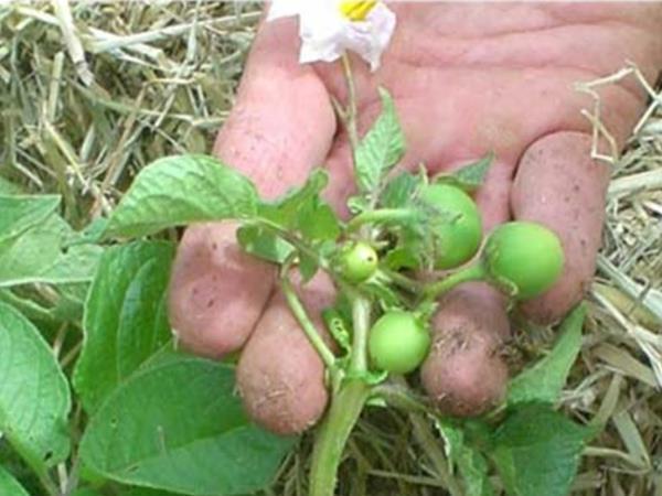 Ягоды семян картофеля на кусте