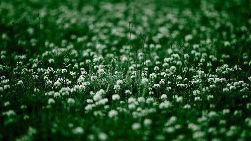 газон из клевера