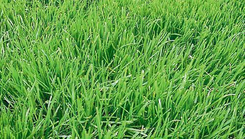 овсяница луговая в качестве газона