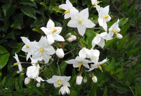 Цветение санберри