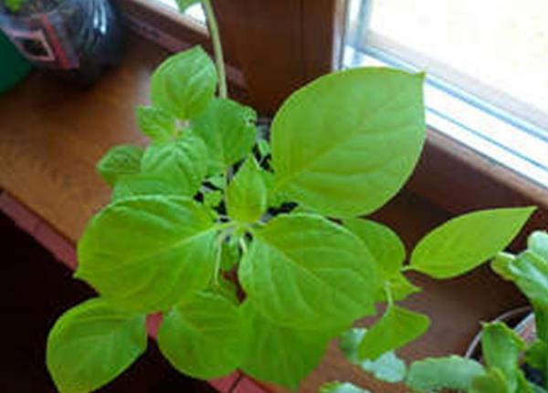 Рассаде санберри нужен солнечный свет