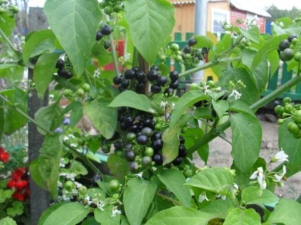 Санберри украсит любой сад
