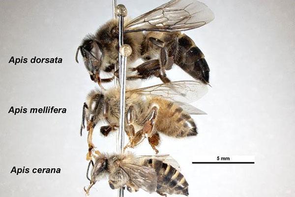 Азиатские медоносные пчелы
