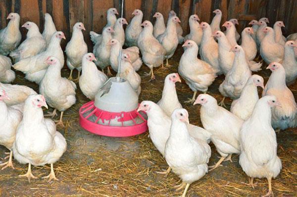 Чтобы куры не склевывали яйца, курятник проверяют каждый день