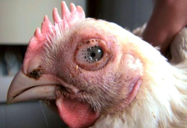 Цыпленка необходимо изолировать