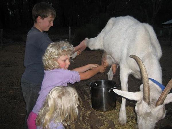 Дети доят козу