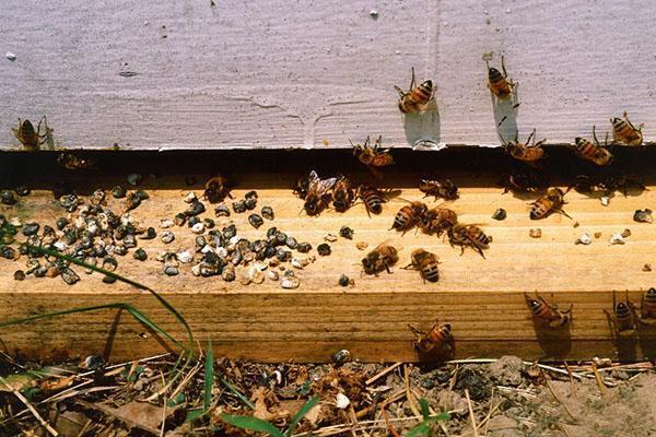 Для лечения аскосфероза пчел применяют Аскосан и Унисан