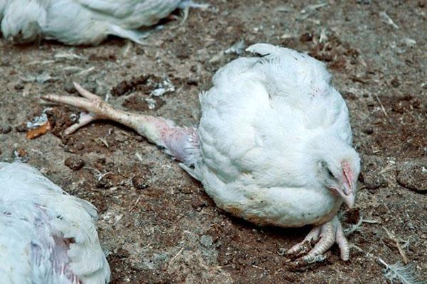 Для лечения больных цыплят используются специальные препараты