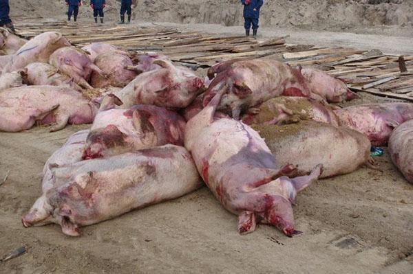африканская чума свиней фото мяса