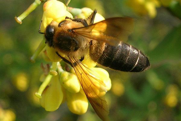 Гималайская горная гигантская пчела Apis dorsata laboriosa