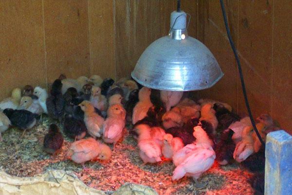 Использование лампы для обогрева цыплят
