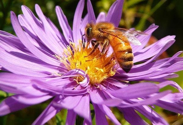 Итальянская порода медоносных пчел (Apis mellifera liqustica)
