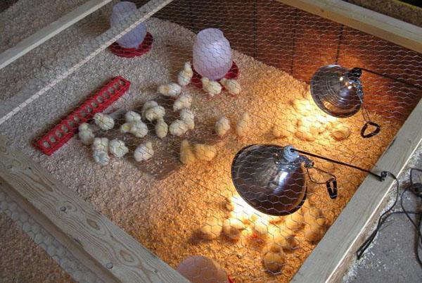 Комфортные условия для цыплят