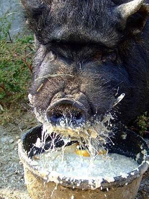 Кормление вьетнамской свиньи