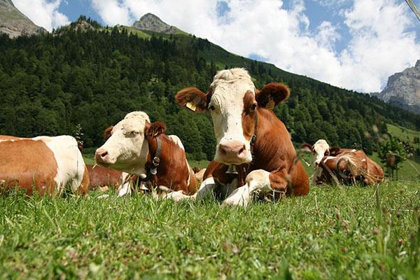 Коровы на выпасе
