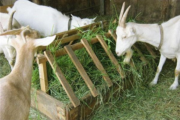 Козы едят скошенную траву