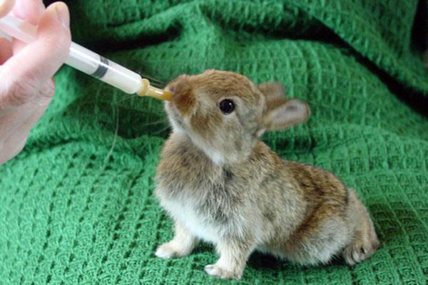 Крольчонок на искусственном вскармливании