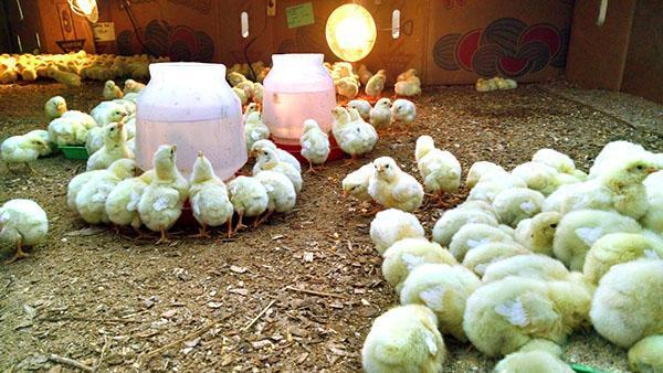 Маленьким цыплятам нужна круглосуточная подсветка
