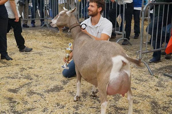 Молочная Тоггенбургская коза на выставке