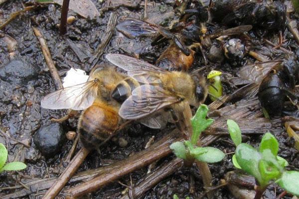 Нарушение правил содержания пчел привод к их заболеванию
