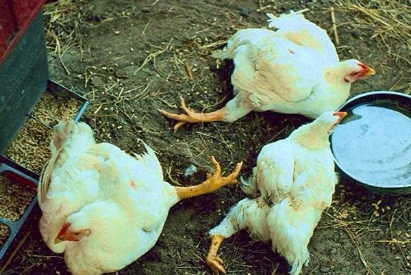 Неправильное питание и содержание бройлеров приводят к падежу птицы