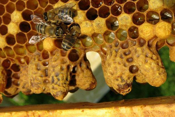 Отводок пчел с неплодной маткой