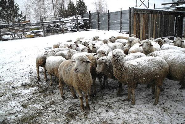Овцы на подворье зимой