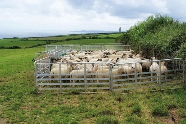 Овцы в переносном загоне