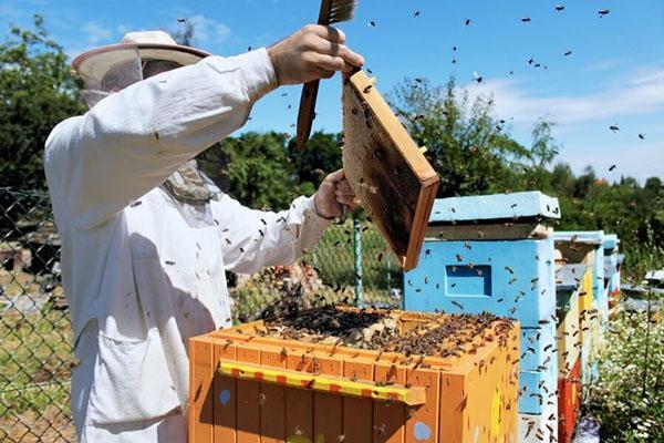 Пасечник делает отводок пчел