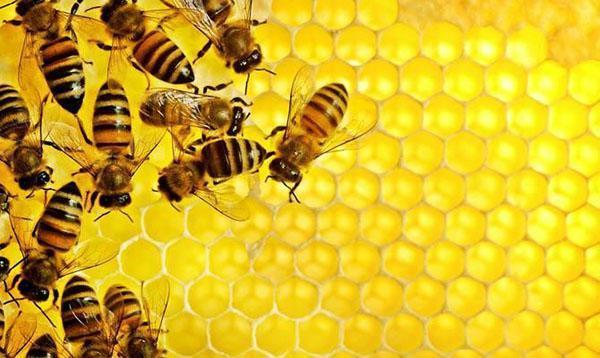 Пчелы откладывают мед