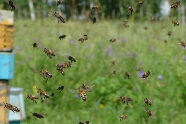 Пчелы в работе