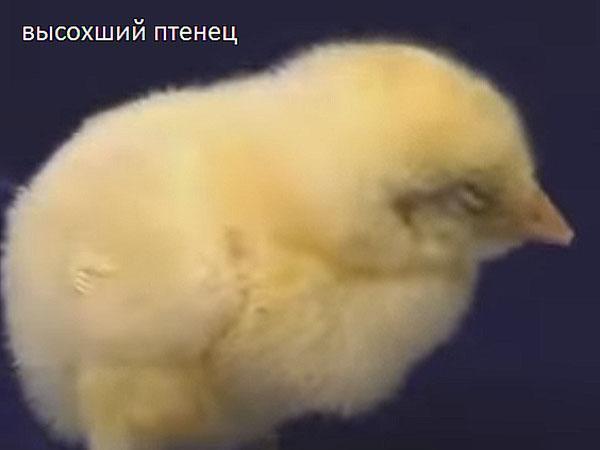 Подсохший птенец