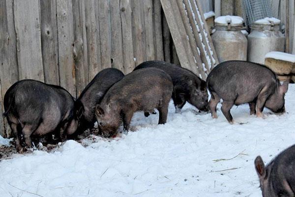 Порода свиней Кармал
