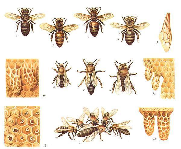 Породы пчел - серая горная кавказская, желтая кавказская, итальянская, карпатская