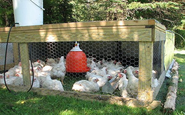 При правильном уходе риск заболевания цыплят значительно снижается