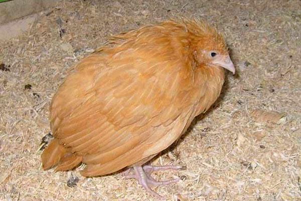 При заболевании птицу лечат специальными препаратами