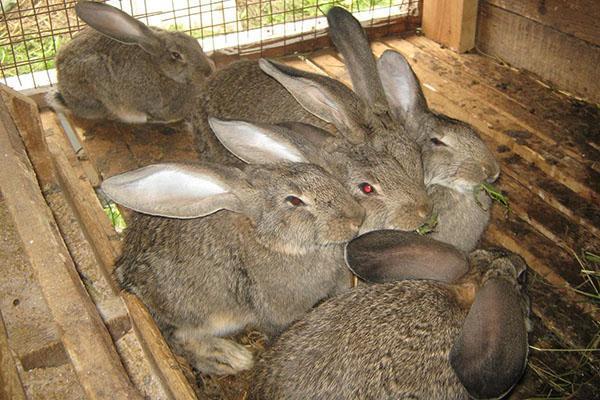 Прививают кроликов в 45 дневном возрасте