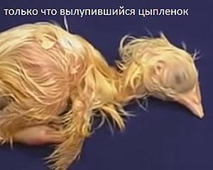 Птенец вылупился