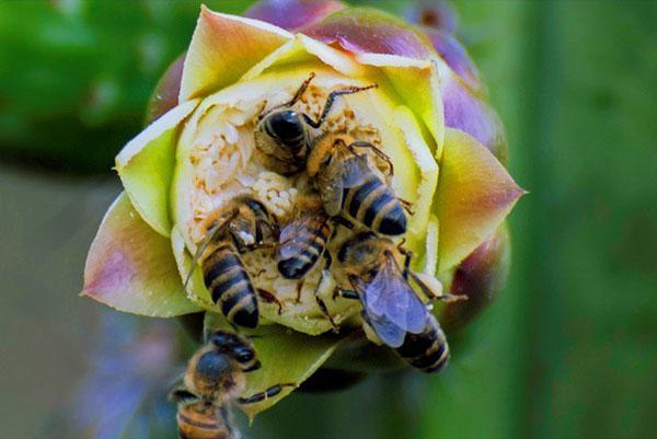 Серая горная кавказская порода пчел (Apis mellifera caucasica)