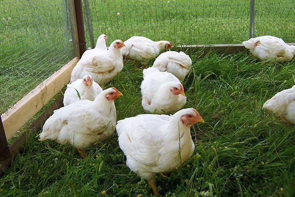 Содержание кур в переносных вольерах