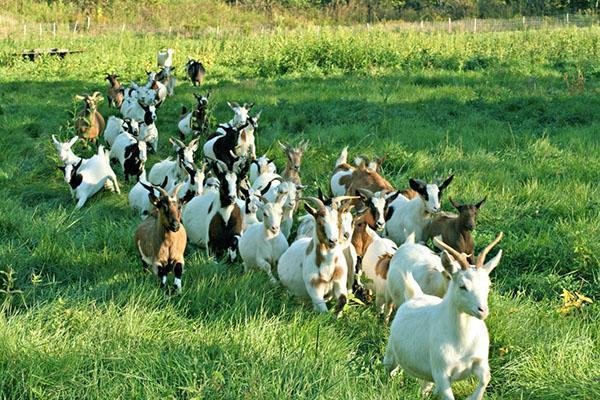 Стадо коз на выпасе