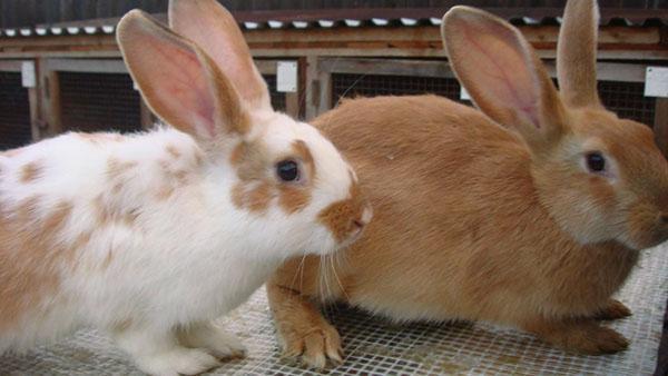Своевременная прививка сохранит поголовье кроликов
