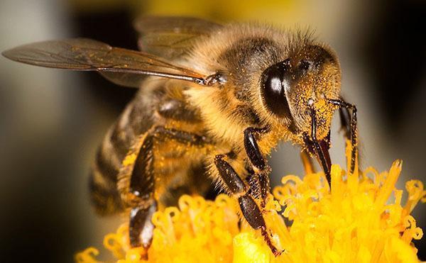 Труженица пчела