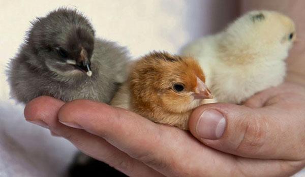 Уже в суточном возрасте опытные птицеводы могут отличить пол птенцов