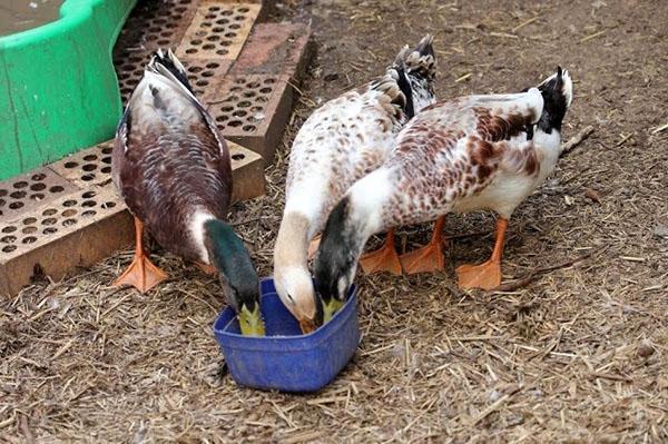 В рационе птицы обязательно должны быть минеральные добавки