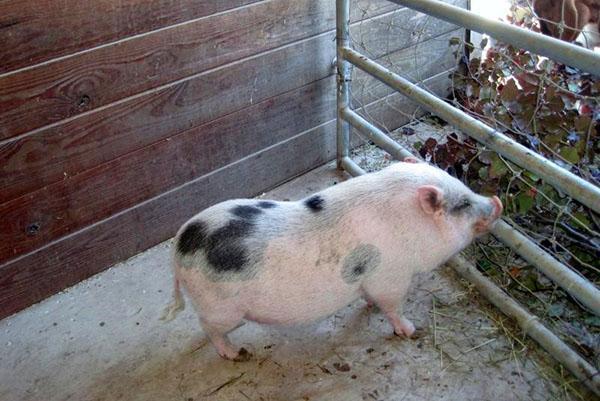 Вьетнамские свиньи любят траву, овощи
