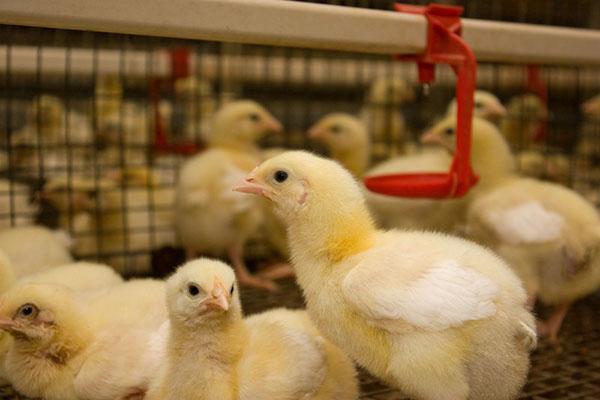 Выведенные в инкубаторе цыплята